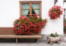 Így teleltesd át muskátlid, hogy tavasszal garantáltan virágba boruljon!